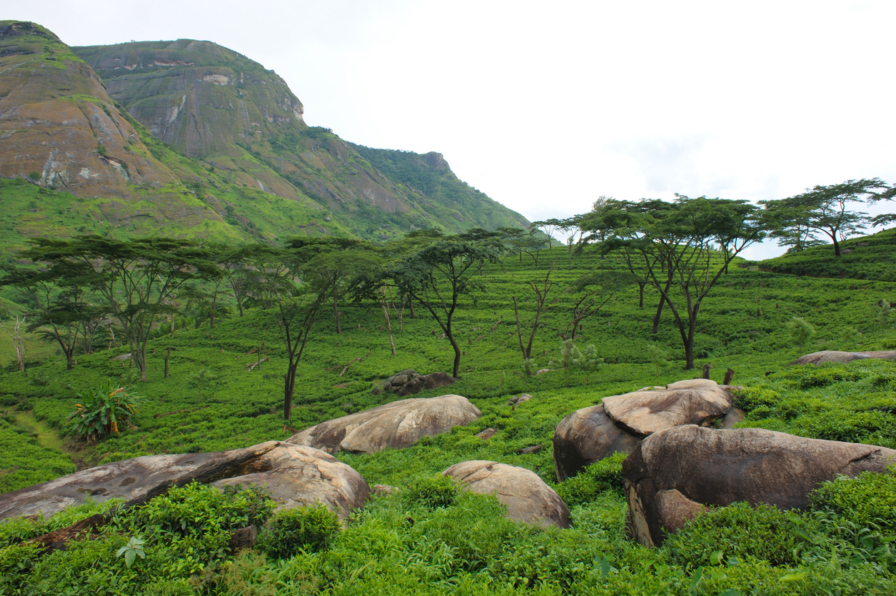 Tea plantations, Mozambique